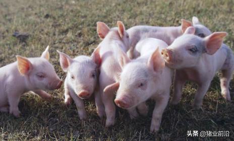 农业农村部发文将在全国范围内排查非洲猪瘟假疫苗,一追到底、彻查源头