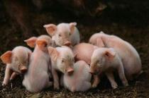 仔猪腹泻病因分析,归纳为以下四大因素,其中第三项最易忽视