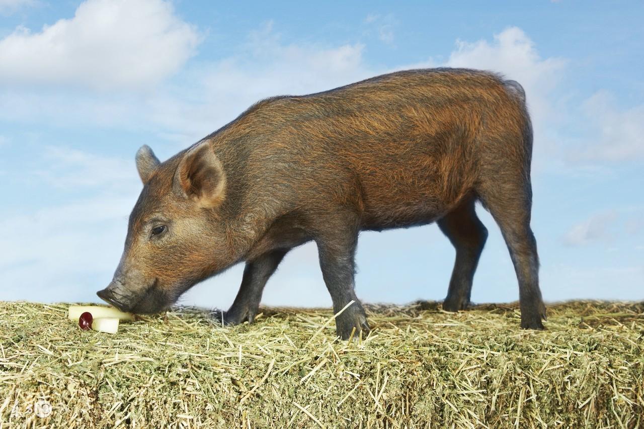 想把猪发病率降低70%!你需要做好猪场生物安全防御体系!