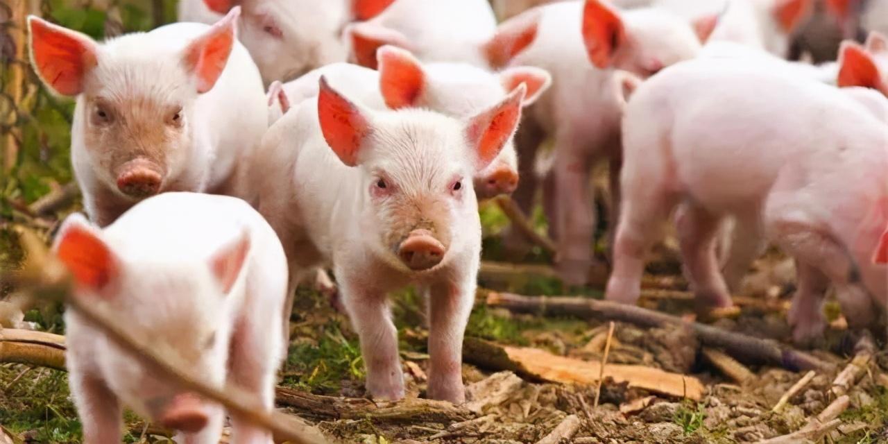 正邦科技发布2月生猪销售数据,并宣布种猪培育计划