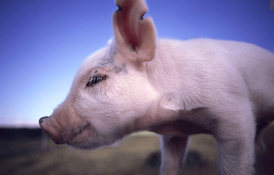 正邦科技前二月养猪数据解读:商品肥猪单价创近18个月以来新低