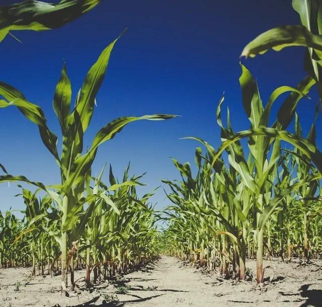 多家机构预测今秋玉米(干粮)价格应该在1.4元/斤左右,是真的吗?