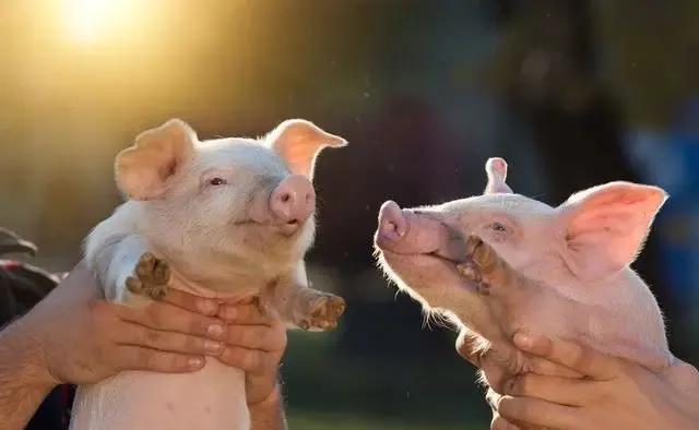 """""""养猪不驱虫,越养越穷"""",到底是不是真的?怎样给猪驱虫?"""