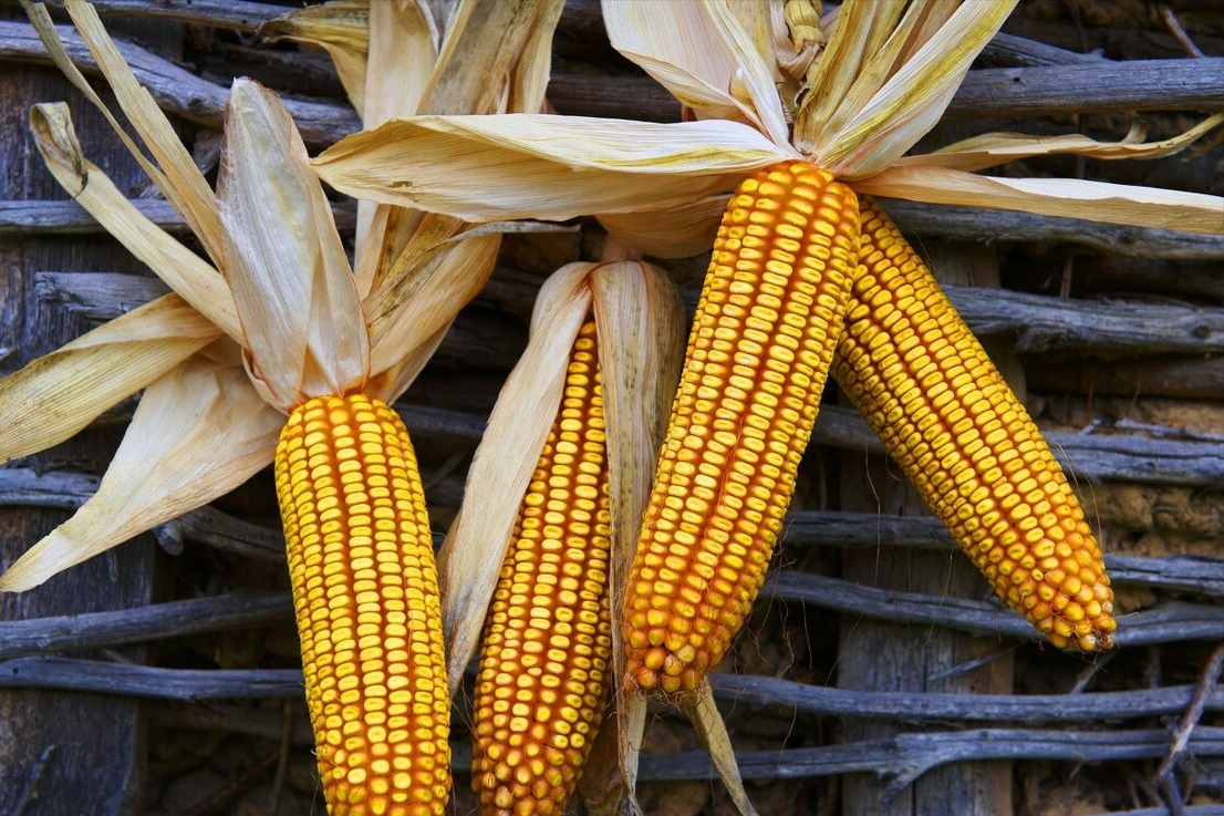 3月10日饲料原料,企业下调收购价、期货跌不停,玉米要高位下跌?