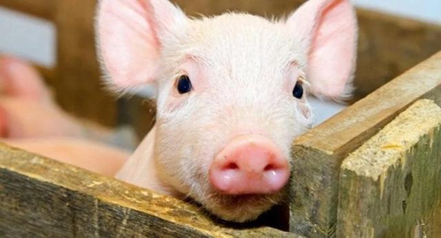 吉林市建成首个非洲猪瘟无疫小区 白条猪出口迎利好
