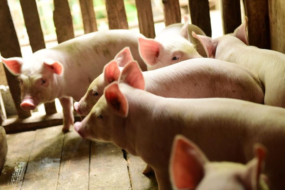 3月11日20公斤仔猪价格,二次育肥连亏2周,补栏锁定在4月?