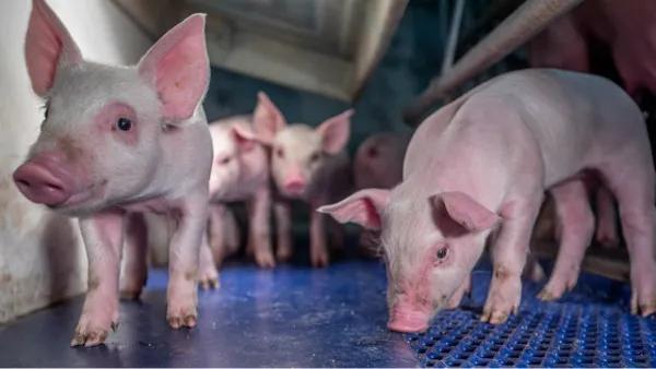 毒力增强!在全国流行范围较大,猪流行性腹泻防治刻不容缓