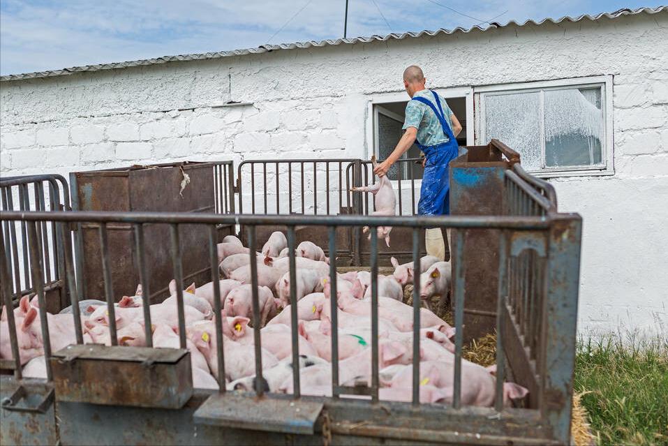 3月12日10公斤仔猪价格,仔猪涨了近1千元,养殖户要如何抉择?