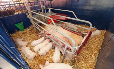 分享母猪产前产后的亲身实践经验,浅析母猪产前产后的一些注意事项....
