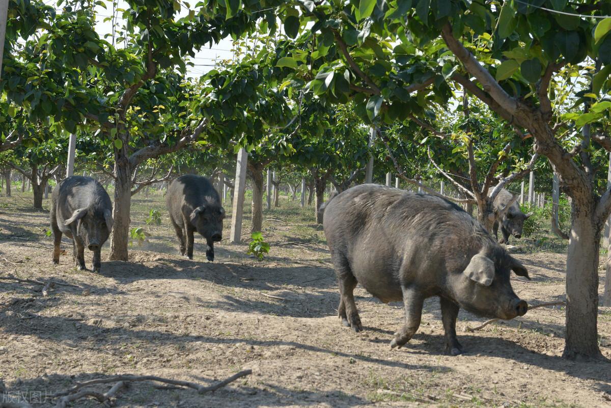 洋猪入侵中国,中国养殖9000年的本土黑猪,如今陷入灭绝危机