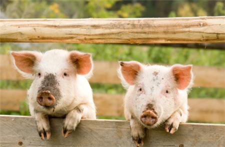 1-2月份14家上市企业销售生猪1228万头 占全国比重约14%