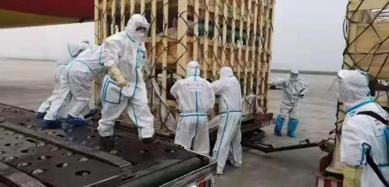 """种源为""""核芯""""!第五批2400头,美国原种猪乘专机飞抵四川正邦"""