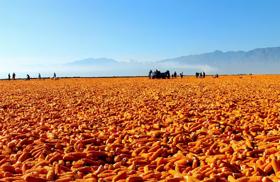 3月16日饲料原料:沉寂已久的玉米终是涨了,能否就此逆袭?