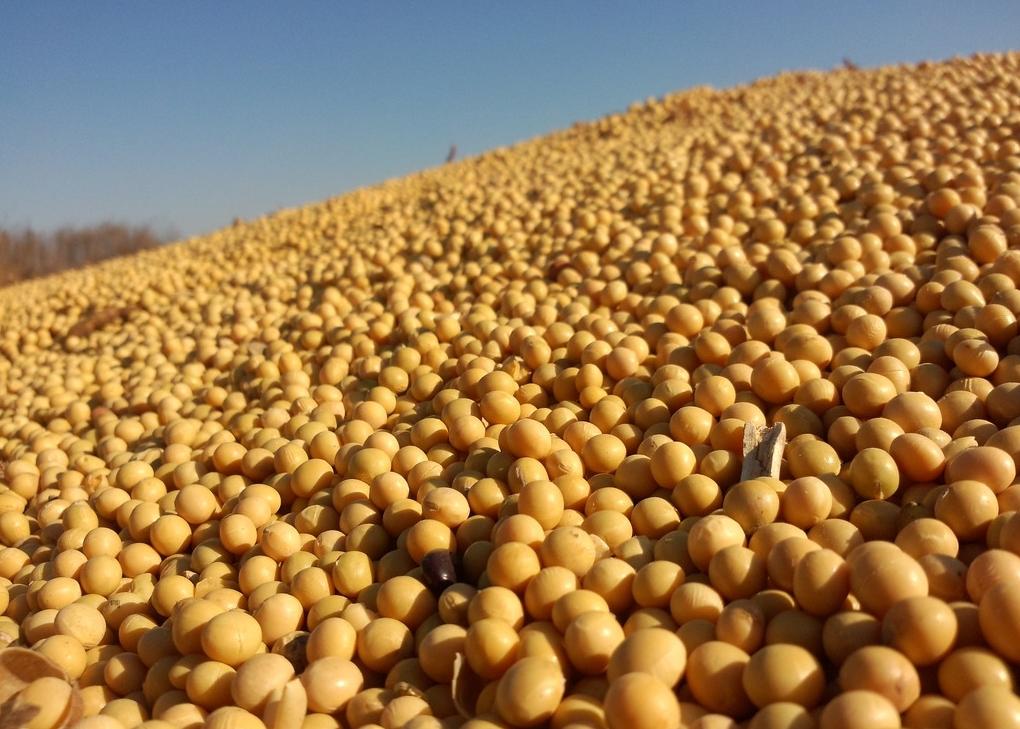 饲用玉米豆粕减量,现实与理想存在较大差距!