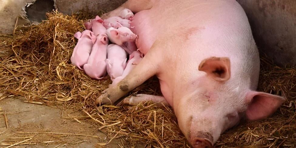 3月18日15公斤仔猪价格,3天涨了300元,行业产能去化加速?