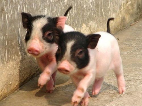 国家级重点保护猪种:荣昌猪!荣昌猪市场与产业调查分析