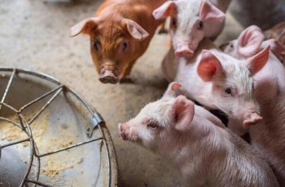 四川乐山:压实责任 建强生猪生产和疫病防控联动机制