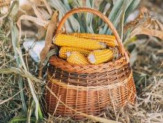 2021年1-2月饲料粮进口增加迅猛!中国连续三天买入美玉米超300万吨!