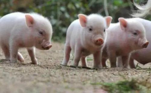 """李后强:化解""""猪周期""""必须大力推进生猪养殖立法"""