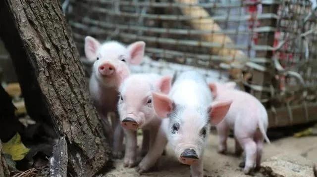 广西:新建或改扩建规模生猪养殖场投产率98.26%