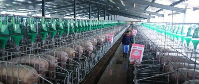 猪价下跌,饲料涨价,政策高压,养猪行业迎来大考...
