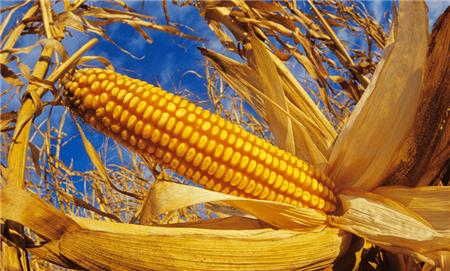 怪不得春季玉米价格下跌 原来今年粮食进口这么疯狂