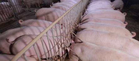 三月中旬生猪价格比上旬跌4.5%!生猪市场大局已定?养猪人慌了