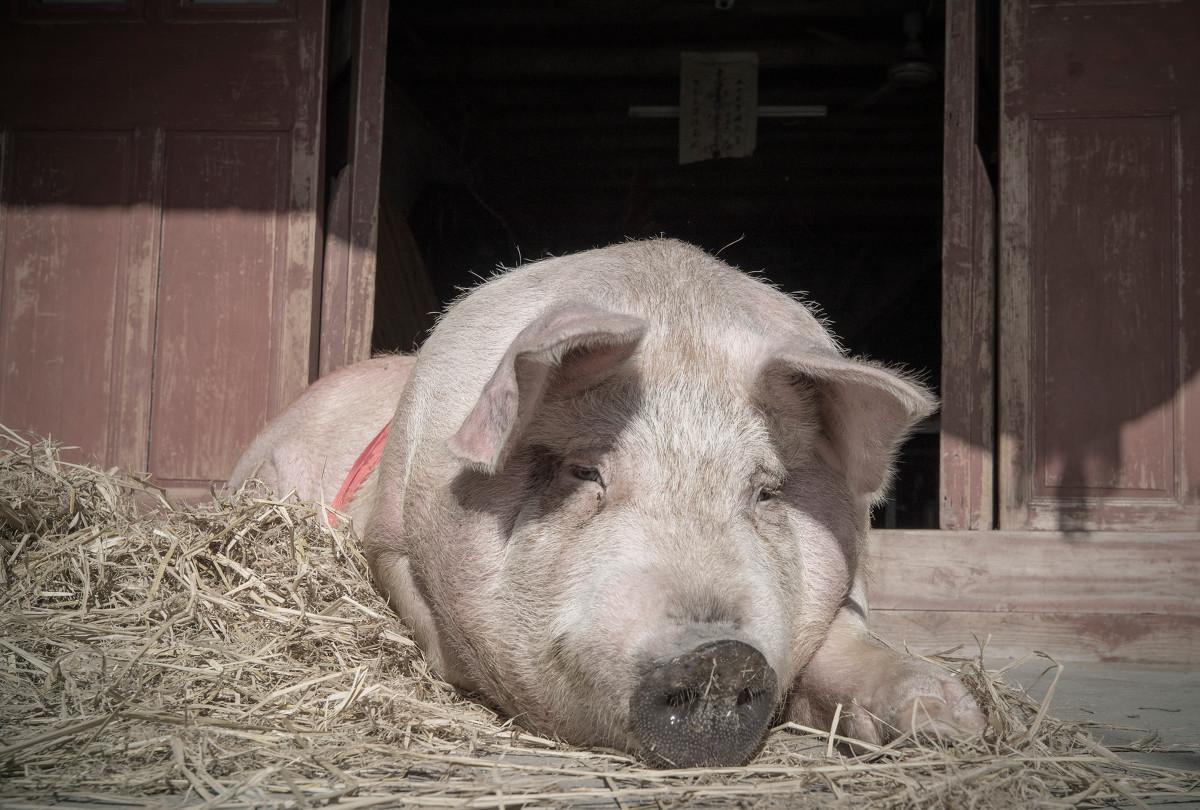 """4月1日起活猪调运将逐步限制,""""北肉南运""""对猪市有何影响"""