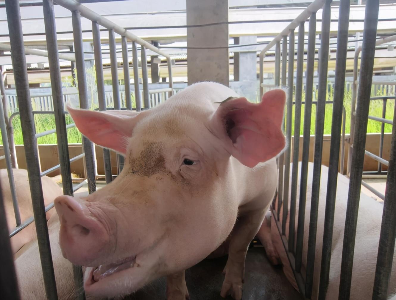 母猪保健:疫苗、病毒性疾病的净化、生产繁殖...这样做才是最全面最有效的