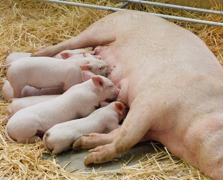 深度分析:产房的管理要点(四):仔猪寄养管理2