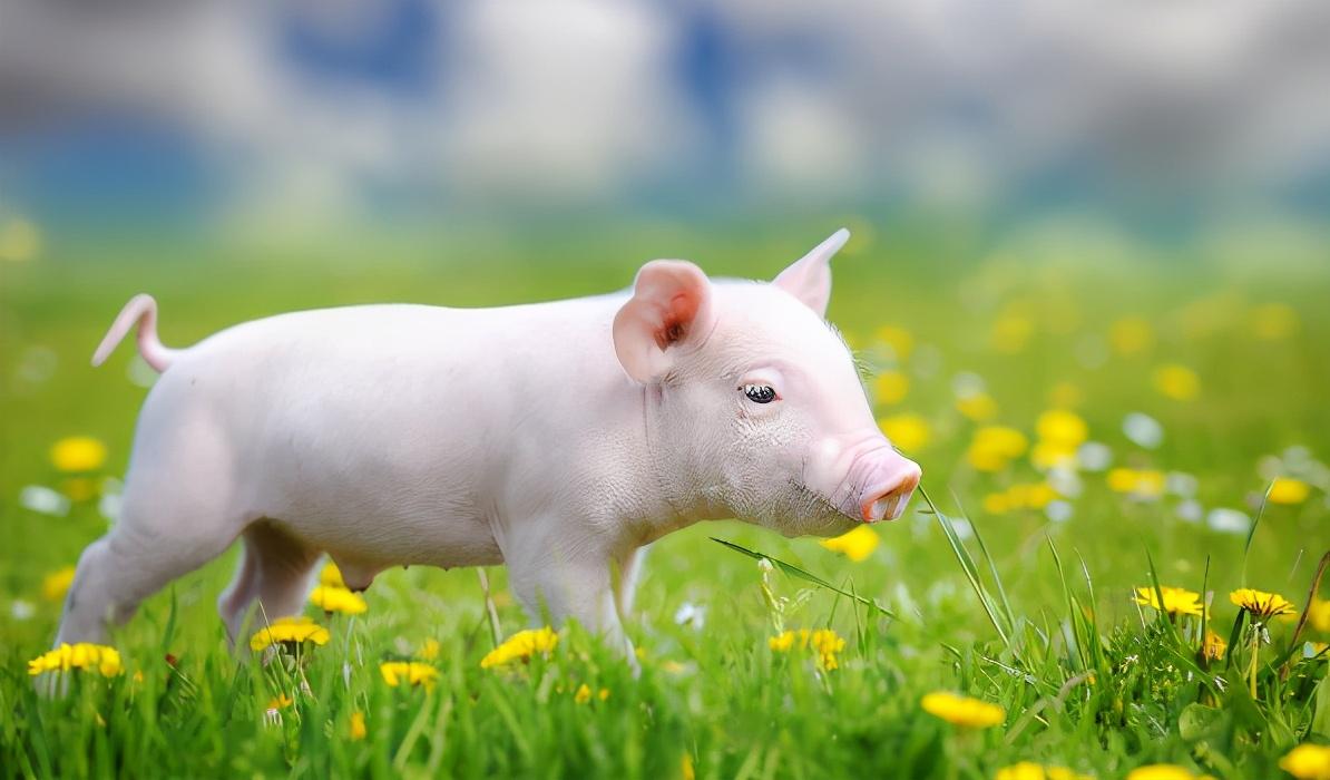 3月30日10公斤仔猪价格,猪价跳水创新低,仔猪高价也告一段落?