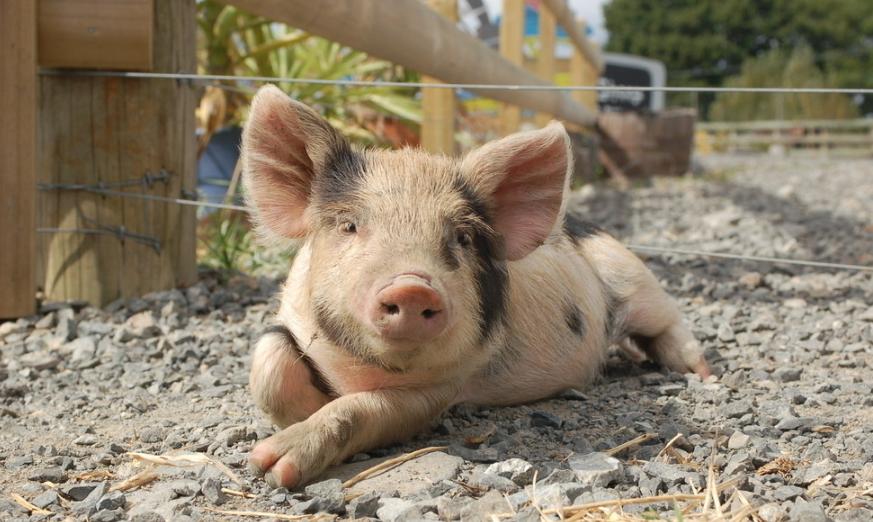 3月31日15公斤仔猪价格,肥猪和仔猪价格倒挂,仔猪决定短期盈利?