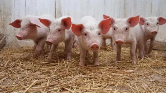 2021生猪供给恢复明显,猪价将回归常态!