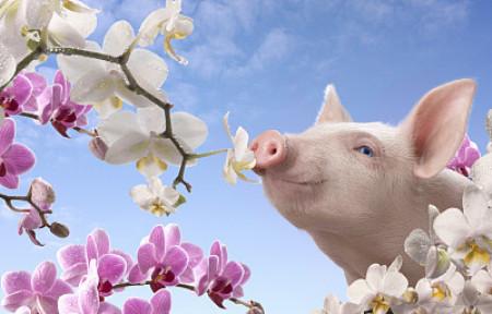 """国内外猪价走势""""冰火两重天"""",原因何在?"""