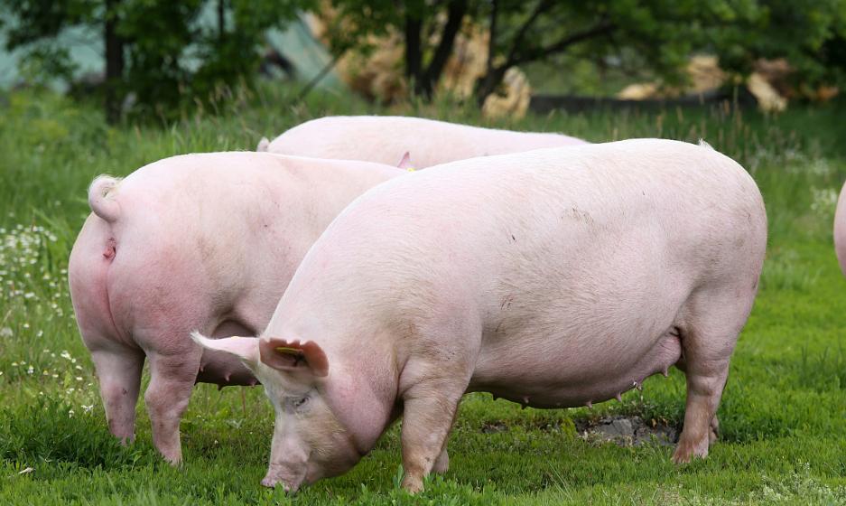 想要母猪多产仔,妊娠母猪料设计的原则要掌握!