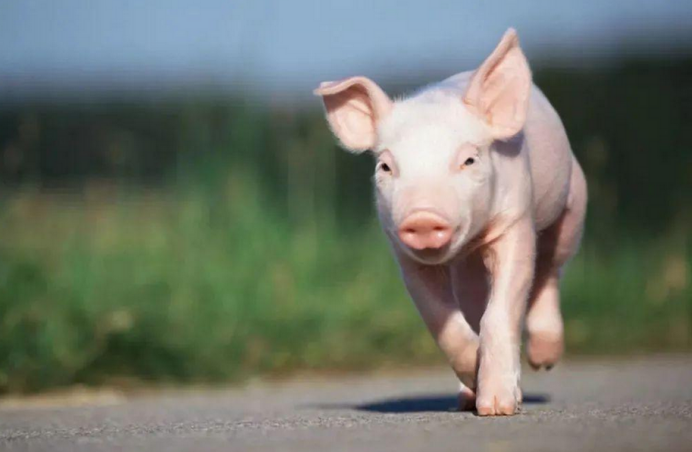 """受原料供需影响,猪饲料价格涨势凶猛,印遇龙:大宗原料受美国""""卡脖子""""风险增加"""