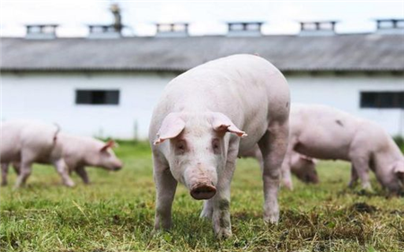 仔猪周期不同以往!猪价长期看跌但年内或有波折