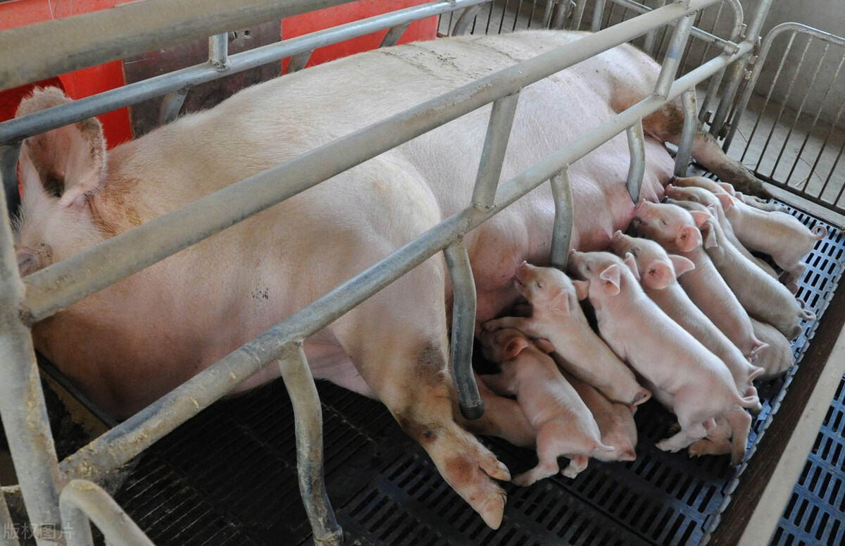 母猪不发情怎么解决?规模猪场常用这几招,供农民养猪户参考学习