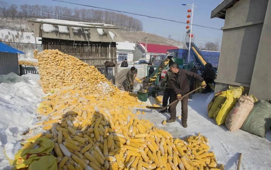 猪价反弹,玉米也迎来上涨利好,4月多方大涨行情要来