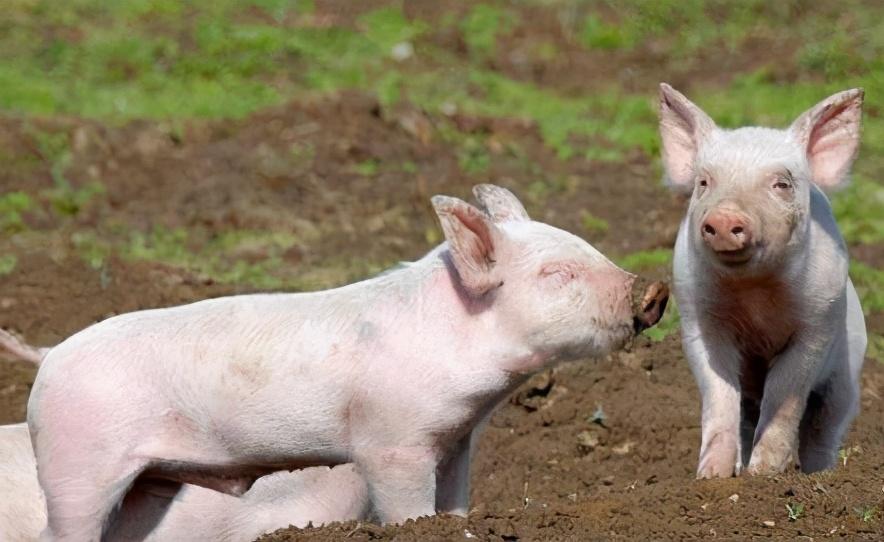 4月6日15公斤仔猪价格,猪价反弹之际,或是仔猪价格变动之时?