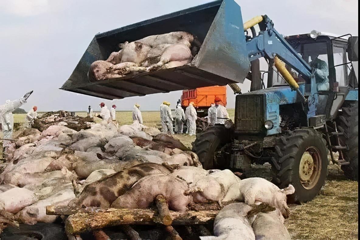 """生猪价格跌破""""地板线""""!肥猪烂市、猪病循环,猪价何时能翻盘?"""