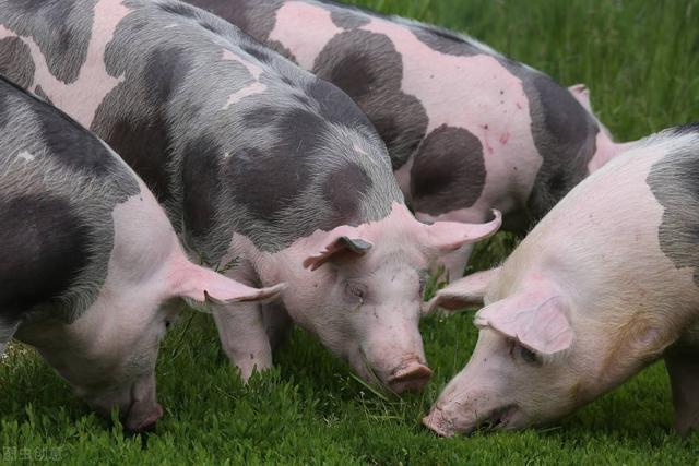 中国本土猪你了解多少? 你知道我国生猪有多少品种吗?