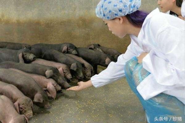 猪场管理的细节大全,疫苗回温你做到了吗