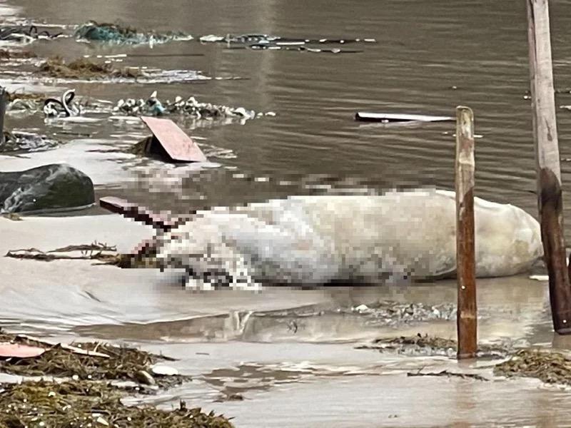 台媒:台湾新北市一沙滩发现漂浮死猪,检出非洲猪瘟核酸阳性