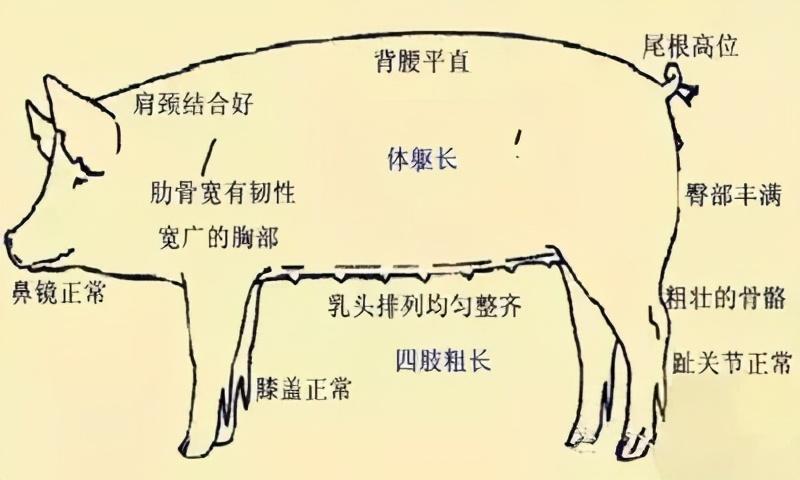 非瘟常态,自养母猪留种有讲究