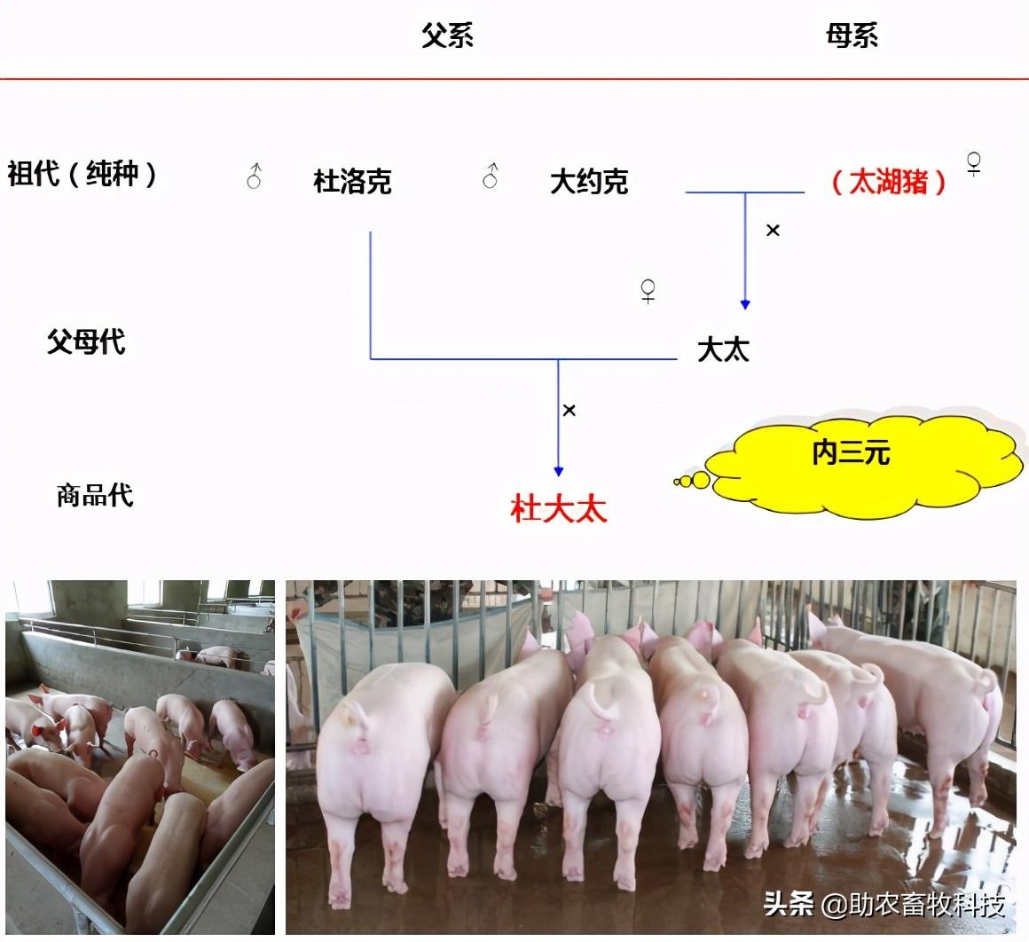 一头肥猪断奶到出栏要吃多少饲料?有降低料耗的简单方法吗?