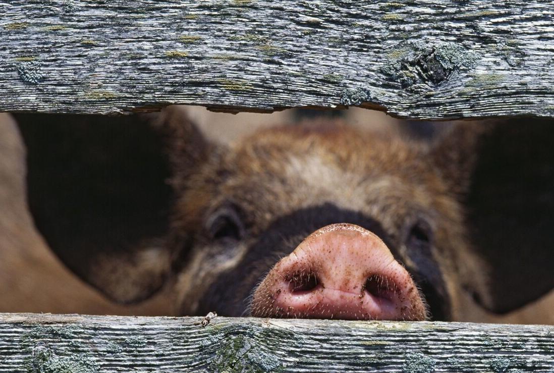 8日10公斤仔猪价格,仔猪价格跌势已成必然,补栏能安排上了?