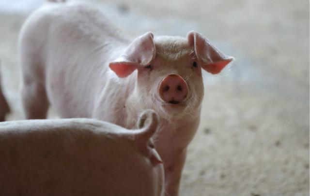 市场缺猪,猪价暴涨,与非瘟疫苗毒有很大关系!行业人士:猪价景气有可能延长