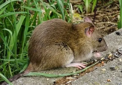 猪场老鼠灭不完咋办?这样防鼠更科学!