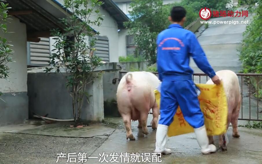 规模猪场都有标记,产房配怀标记方法,一起来学学!